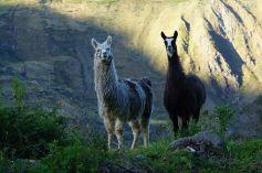 Llama south of Alausi.