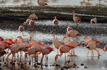 Flamingoes on Hedionda Lagoon