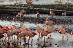 Flamingoes on Hedionda Lagoon